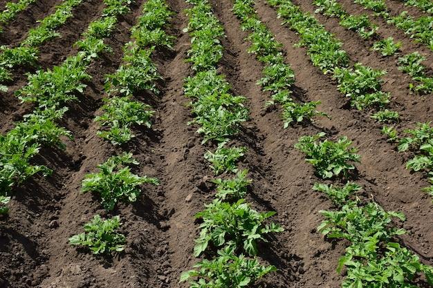 Gladde rijen jonge lage aardappelstruiken die in de verte gaan. het land ertussen is vers gecultiveerd. plantage verlicht door de felle zon