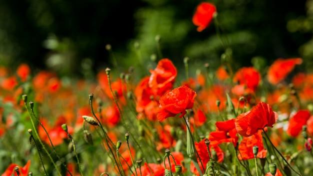 Glade van rode papavers. bloemen rode papavers bloeien op wild veld. rode klaprozen in zacht licht. papaver. natuurlijke drugs. glade van rode papavers. eenzame papaver. soft focus vervaging