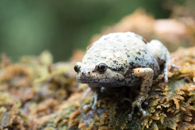 Gladvingerige kikker met smalle mond in het mos