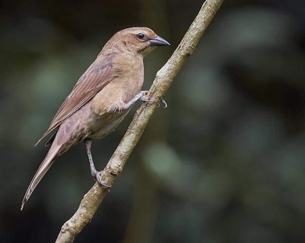 Glanzende cowbird die op een boomtak wordt neergestreken
