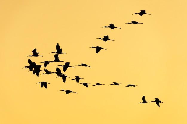 Glanzende ibis op rijstvelden bij zonsondergang