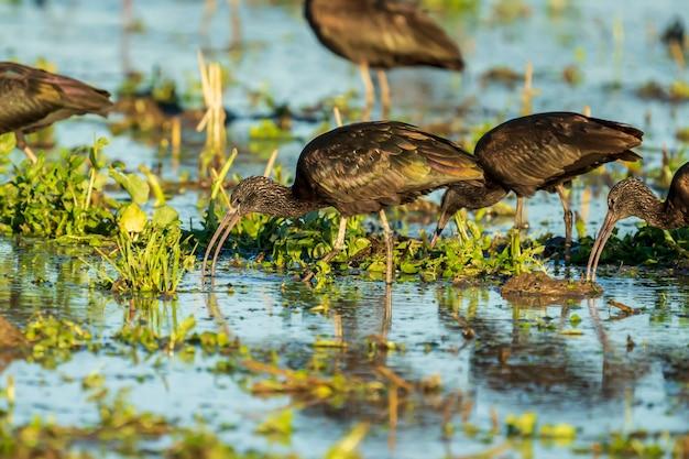 Glanzende ibis (plegadis falcinellus) in een rijstveld in albufera van het natuurpark van valencia, valencia, spanje.