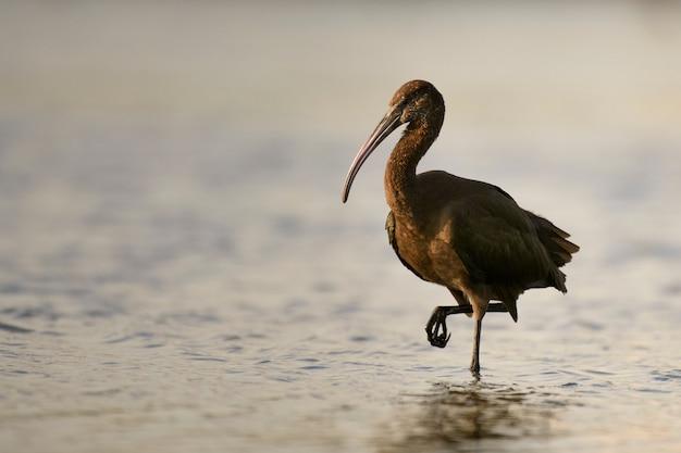 Glanzende ibis plegadis falcinellus in water