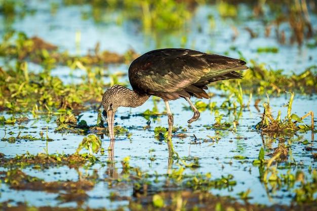 Glanzende ibis (plegadis falcinellus) met één been in een rijstveld in het natuurpark albufera de valencia, valencia, spanje.