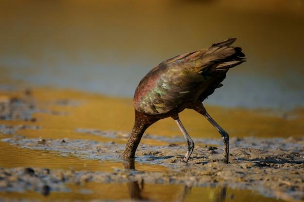 Glanzende ibis (plegadis falcinellus)