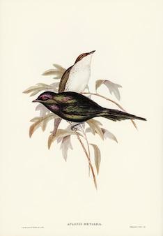 Glanzende spreeuw (aplonis-metallica) geïllustreerd door elizabeth gould