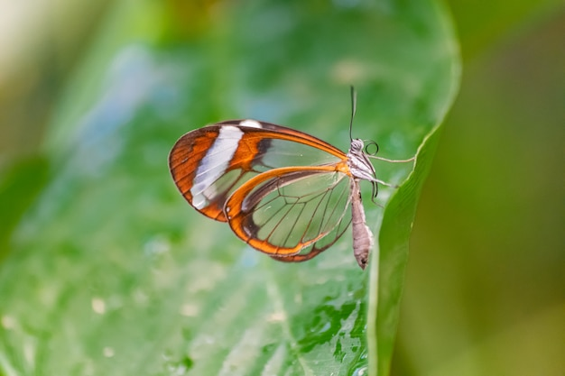 Glasswing vlinder (greta oto)