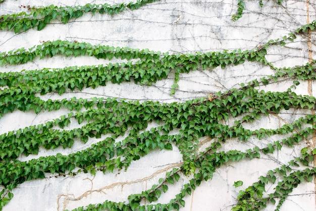 Glijden bladeren op gipswanden