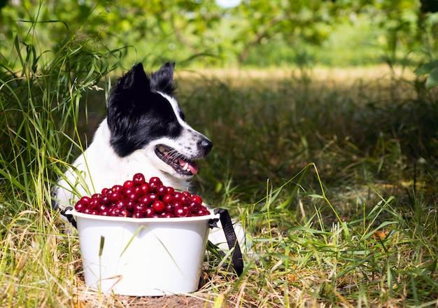 Glimlachend hondenras border collie die op het gras dichtbij een emmer van kersen liggen.