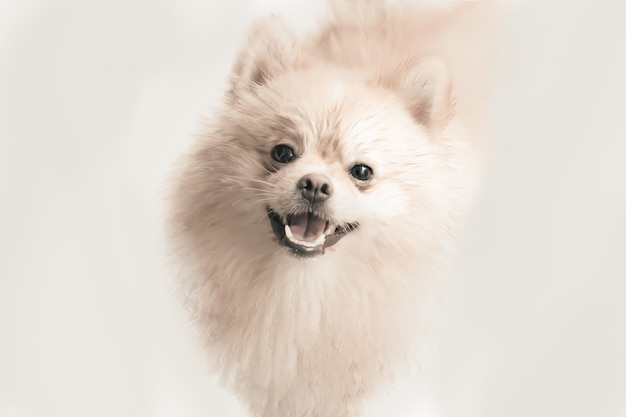 Glimlachend room pomeranian puppy dat op de witte achtergrond wordt geïsoleerd