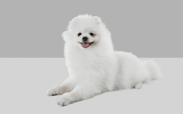 Glimlachend schattig spitz hondje poseert schattig speels wit hondje of huisdier spelen op grijze studio