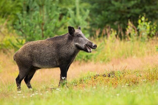 Glimlachend vrouwtje van wilde zwijnen die in het bos staan met open mond