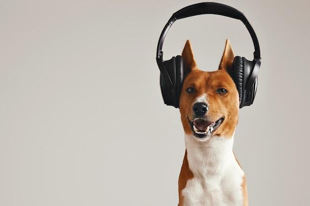 Glimlachende bruine en witte basenji-hond die aan muziek in grote zwarte draadloze hoofdtelefoons luisteren die op wit wordt geïsoleerd