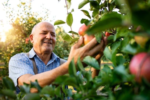 Glimlachende hogere mensenarbeider die appels in fruitboomgaard oppakken
