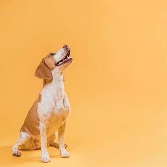 Glimlachende hond die omhoog met exemplaarruimte kijkt