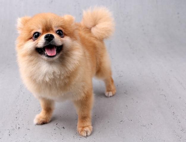 Glimlachende hond met witte achtergrond.