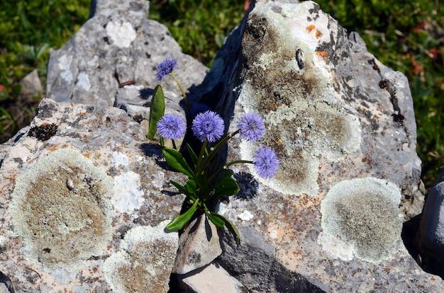 Globularia nudicaulis bloemen groeien op rotsen