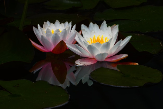 Glowing water lilly met reflectie