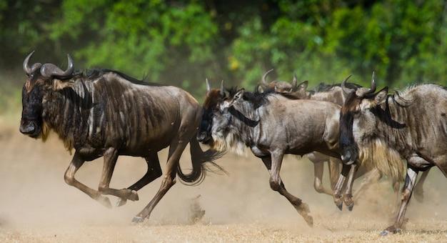 Gnoes rennen door het savannah motion-effect.