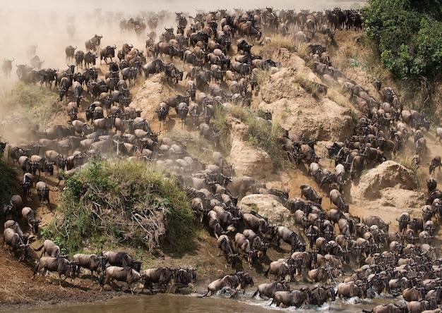 Gnoes rennen naar de mara-rivier. grote migratie. kenia. tanzania. nationaal park masai mara.