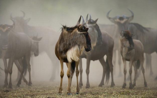 Gnoes staan als een kleine groep in de savanne