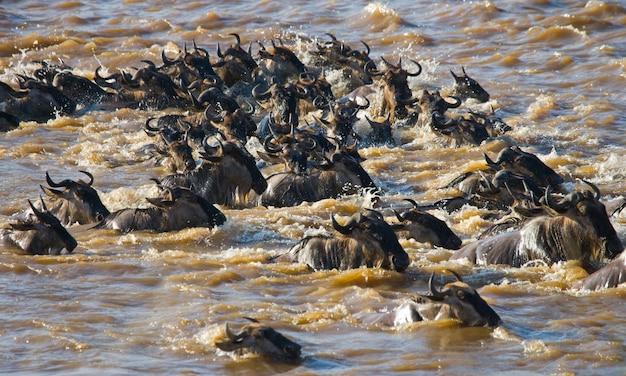 Gnoes steken de mara-rivier over