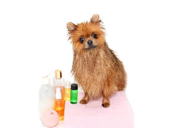 Goed verzorgde hond. een pomeranian hond die een douche neemt. hond in bad. hond trimmen