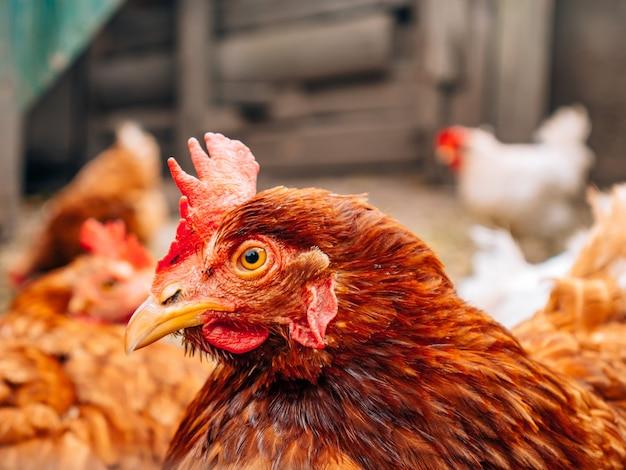 Goed verzorgde rode kippen in het dorp kippen lopen op het platteland