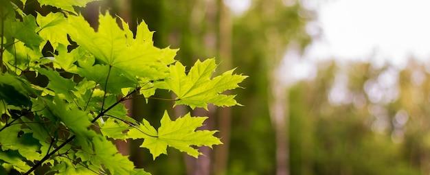 Goede dag in het bos. esdoornbladeren op een onscherpe achtergrond. panorama. kopieer spase voor text_