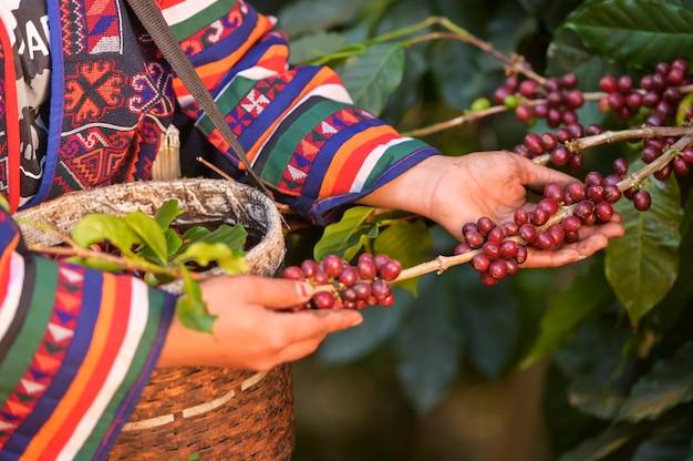 Goede kwaliteit arabica-koffie op hoge berg.