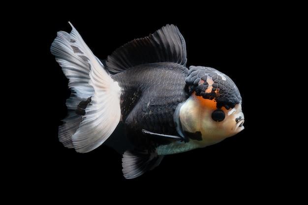 Gold fish, huisdier in cultuur aziatisch japan en china, voor geluk in traditioneel
