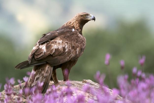 Golden eagle volwassen mannetje onder paarse bloemen met het eerste licht van de dageraad