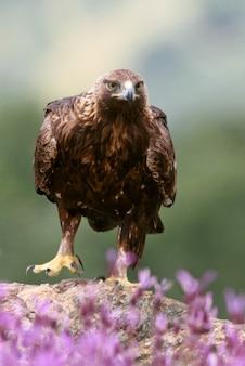 Golden eagle volwassen vrouwtje onder paarse bloemen met het eerste ochtendlicht