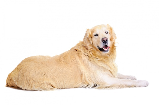 Golden retriever die op de vloer legt
