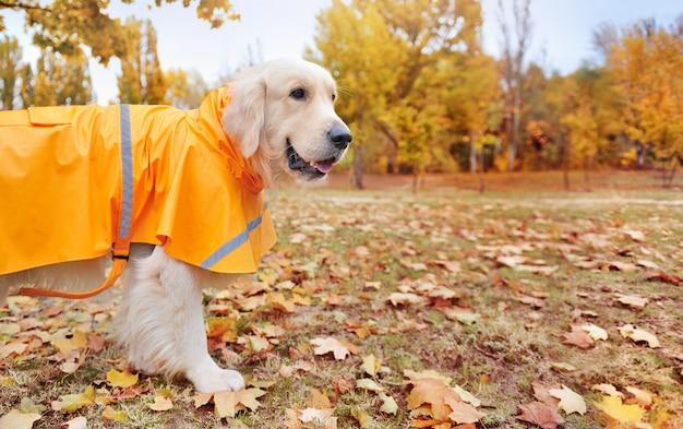 Golden retriever draagt een regenjas | Premium Foto