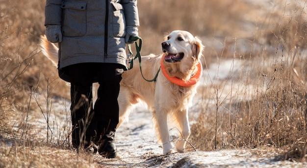 Golden retriever-hond die oranje speelgoedcirkel om zijn nek draagt, wandelend met de eigenaar van de vrouw in de vroege lente...