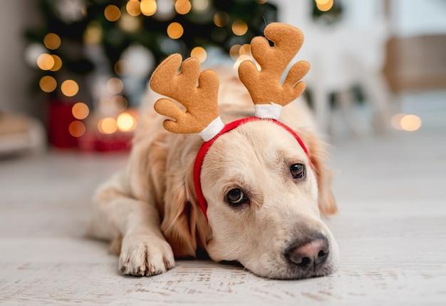 Golden retriever-hond die rendierhoorns draagt terwijl hij op de vloer ligt in de kamer met kerstboom