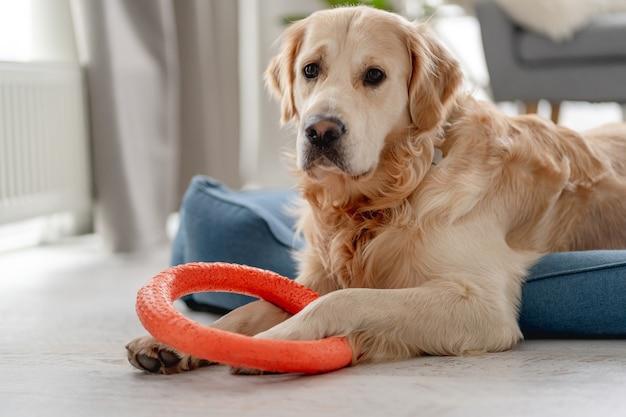 Golden retriever-hond die ringsstuk speelgoed bijt terwijl hij thuis op het hondenbed ligt