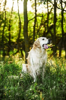 Golden retriever hond op het groene gras