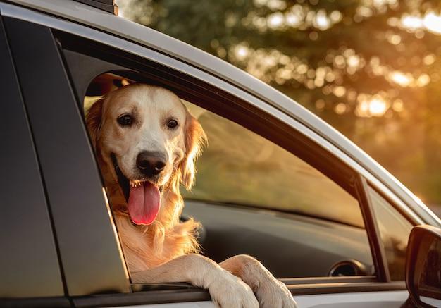 Golden retriever hond op zoek in open autoraam tijdens reizen zittend op de voorstoel