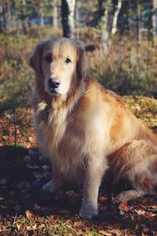 Golden retriever hond zittend in de zon in de herfst bos.