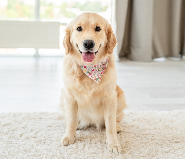 Golden retriever hond zittend op lichte vloer binnenshuis