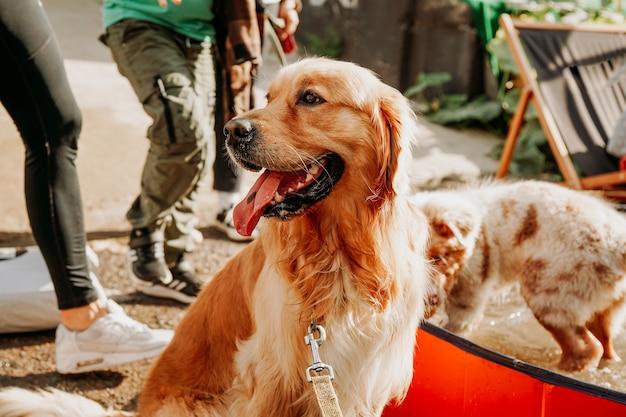 Golden retriever. portret van een gelukkig huisdier op het stadsdierenfestival. zomer zonnige dag