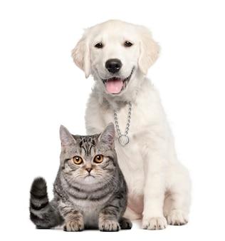 Golden retriever pup zitten naast een britse korthaar