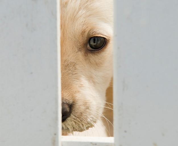 Golden retriever puppy hondje