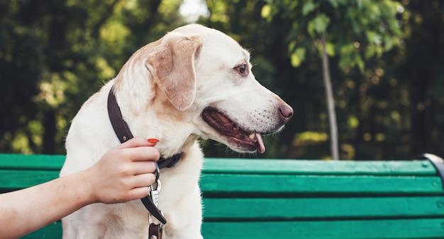 Golden retriever zittend op een bankje in het park terwijl zijn eigenaar hem vasthoudt