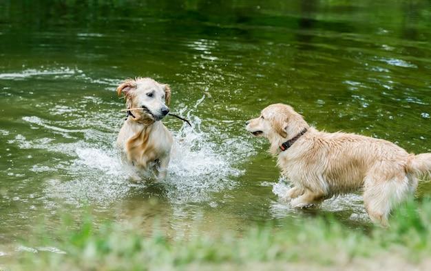 Golden retrieverhonden die zich in rivier bevinden