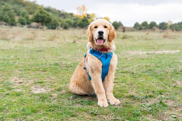 Golden retrieverpuppyhond genieten die camera, mooi daglicht bekijken