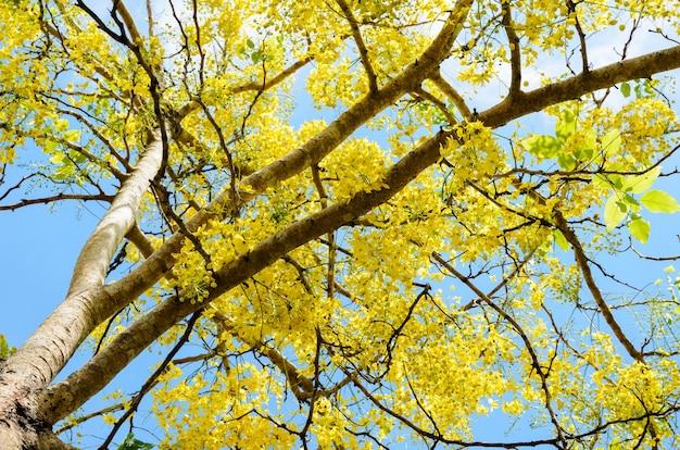 Golden shower, purging cassia, indian laburnum of cassia fistula, ratchaphruek nationale bloem van thailand, mooie gele bloemen hangende bloesem aan de boom