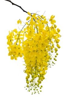 Golden shower, purging cassia, indian laburnum of cassia fistula, ratchaphruek nationale bloem van thailand, mooie gele bloemen hangende bloesem geïsoleerd op witte achtergrond
